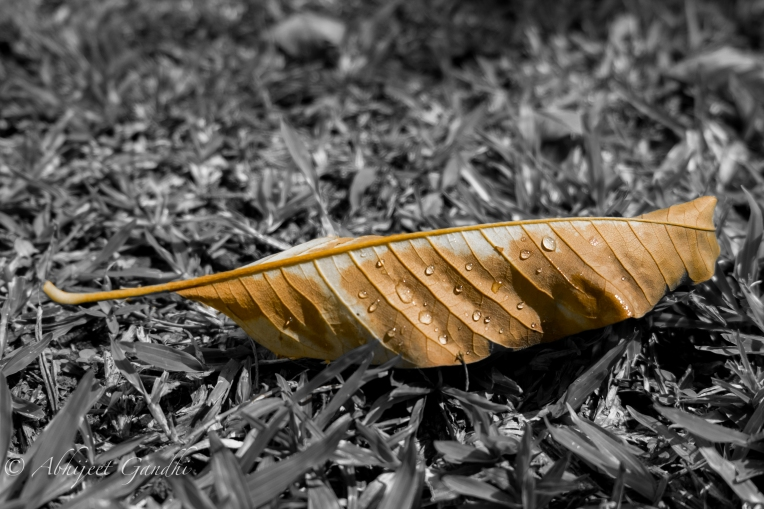 Singapore Park Wet Leaf Dew