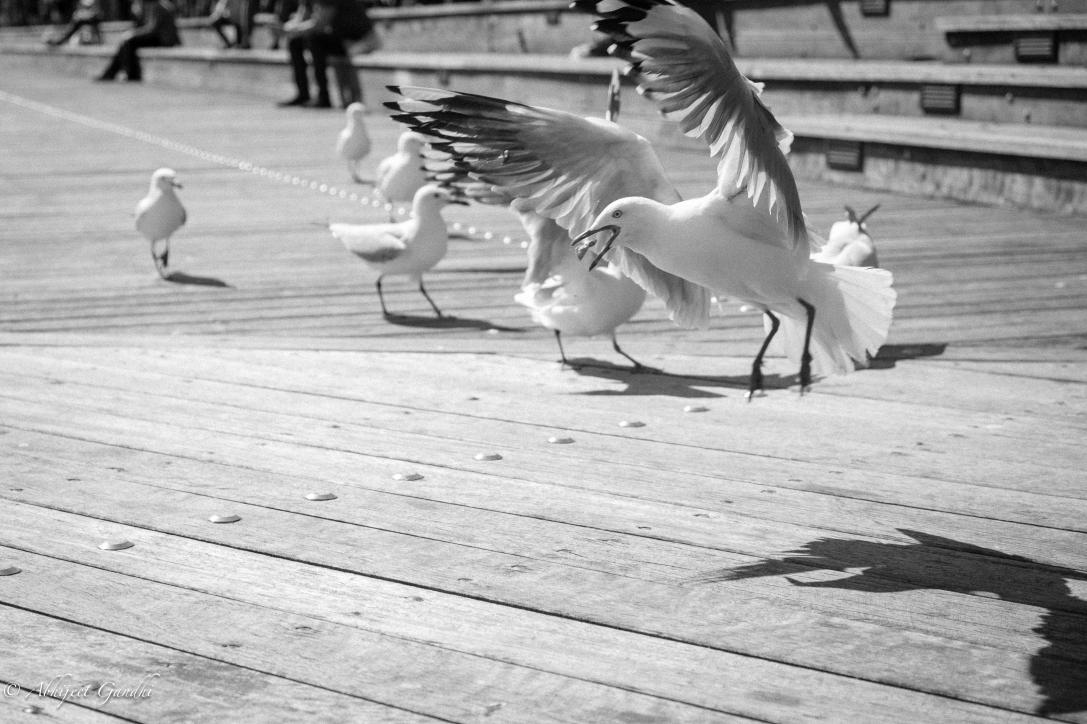australia sydney darling harbour flying bird